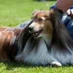 Pasiruošimas šunų parodai ir įvertinimai