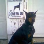 Visa tiesa apie sargavimą arba pikto šuns gyvenimas. 1 dalis