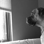 Pesimistiškai nusiteikę šunys jaučia didesnį išsiskyrimo nerimą