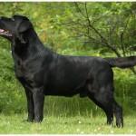 Labradoro retriverių veislynai