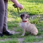 Sunkiai treniruojamos šunų veislės