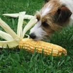 10 taisyklių, kaip turėtų būti teisingai duodamas šunų maistas