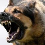 Apie šunų ruošimą apsaugai