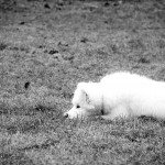 Bjaurus šuns įprotis – išmatų valgymas
