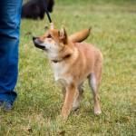 Keletas patarimų, kaip šunį išmokinti vaikščioti laisvu pavadžiu