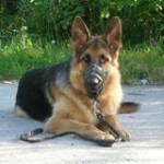 Socializacijos testas ir šuo be antsnukio mieste