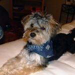 Šuniuko namų elgesio treniruotės klikeriu