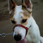 Šuns agresijos šalinimo metodai (1 dalis)