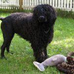 Įkandimas ar įgėlimas šuniui