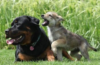 rotveileris-ir-vilkas