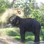 Ar dramblys užmiršta išmoktus dalykus ?