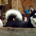 Šunų tolerancija