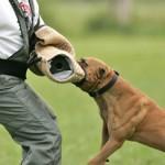 Ar pitbulterjerų tipo šunys tinka apsaugai?