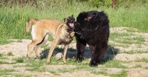 Niūfaundlendo ir belgų malinua žaidime nėra dominavimo