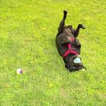 Dominavimas ir šuns mokymas. 2 dalis