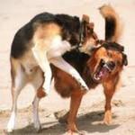 Kaip išskirti besipjaunančius šunis