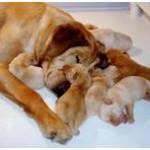 Kalyčių nėštumas