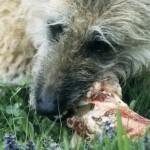 Šunų evoliucija paaiškina jų pomėgį graužti kaulus