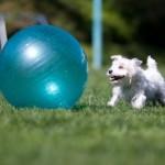Treibball – nauja šunų sporto rūšis