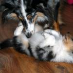Kaip išvengti šunų pjautynių?
