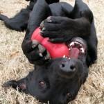 Kodėl šunys graužia viską, kas būna aplink juos?