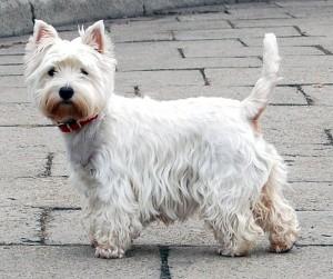 West_Highland_White_Terrier_Krakow