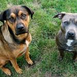 Šunų elgsenos mitai. 2 dalis