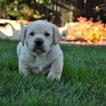 Šuniukų/šunų vystymosi stadijos