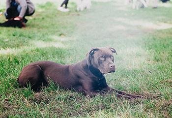 jaunų šunų dresūra Vilniuje