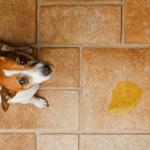 Šuo nevalingai šlapinasi: kokios priežastys ir kaip jam padėti?