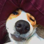 5 COVID-19 (korona viruso) iššūkiai jautriems šunims